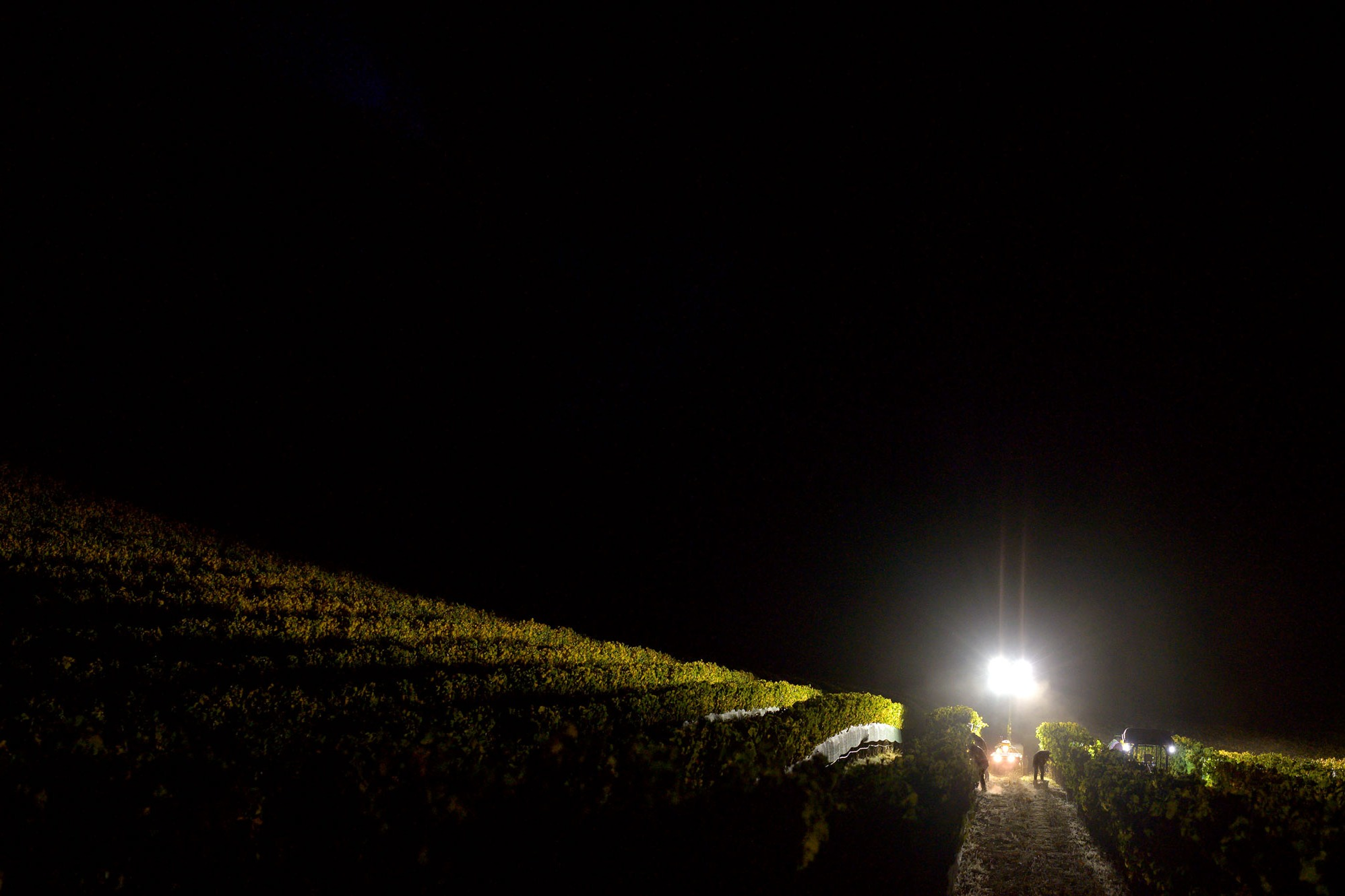 Tractor lights and headlamps illuminate night harvest at Ecotone Vineyard. Photo by JH Hayes