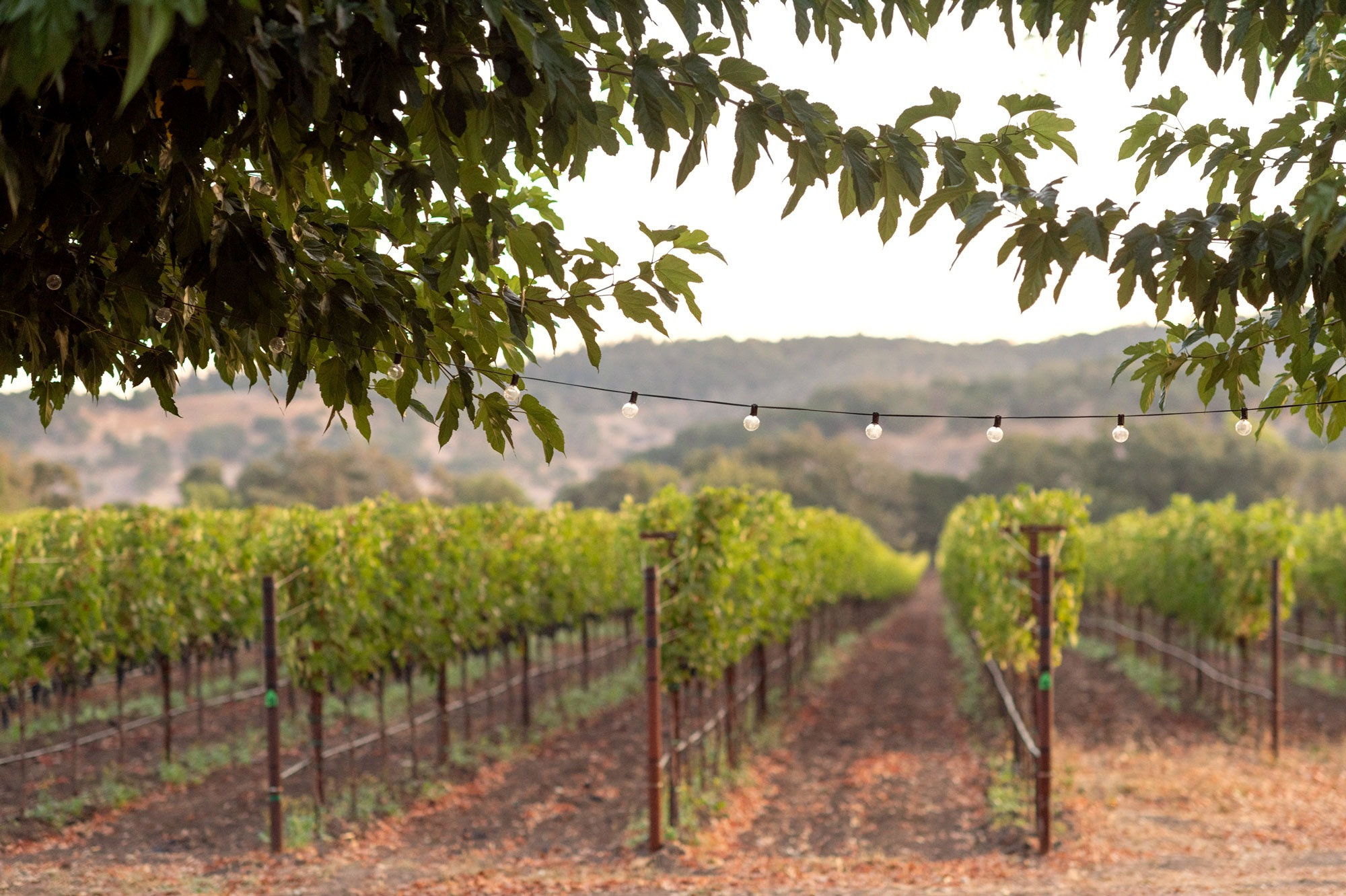View of M-Bar Ranch grapevines from terrace shaded by mulberry trees, image by JH Hayes