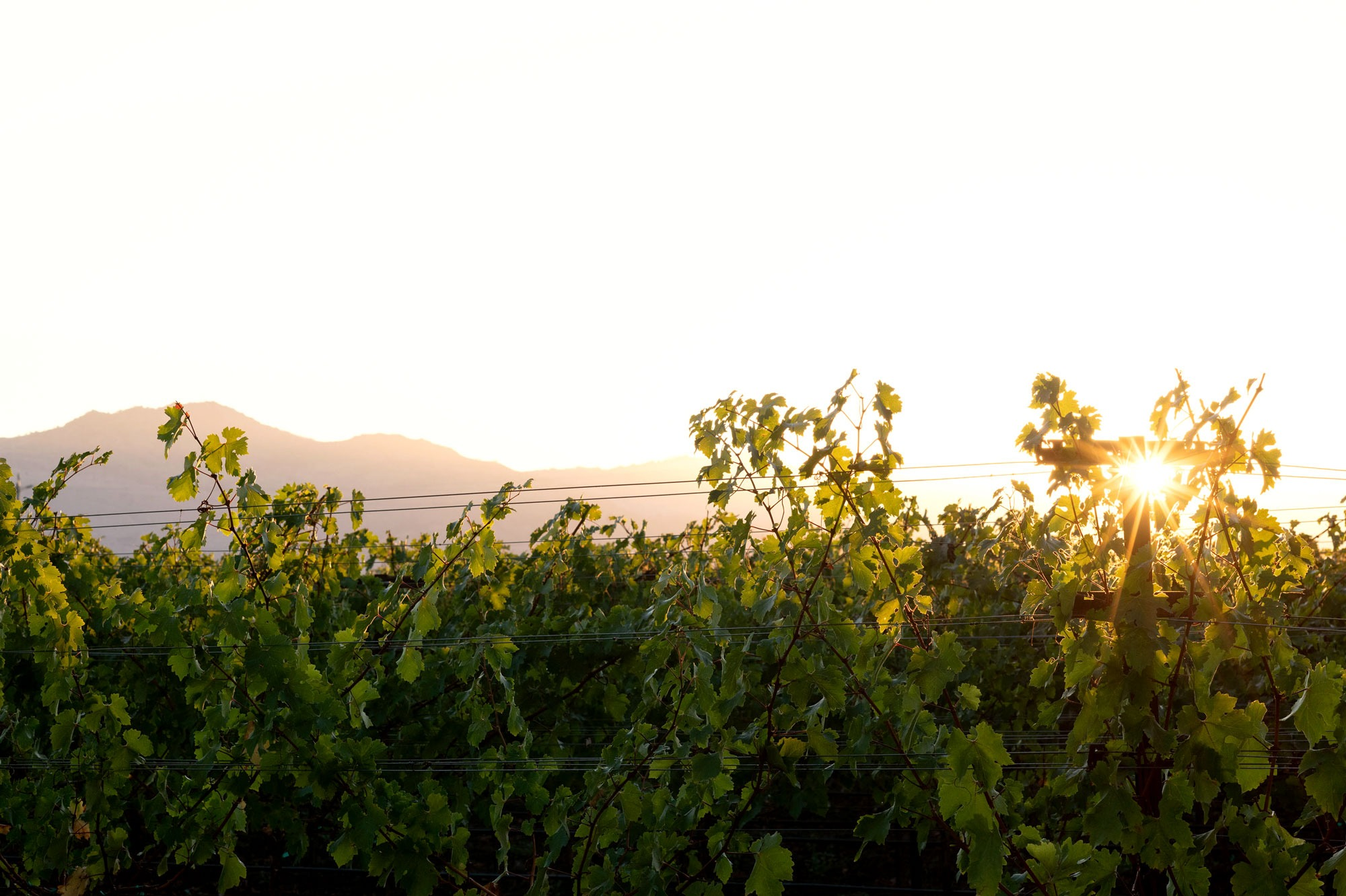 Sunrise peeking through the vines at M-Bar Ranch