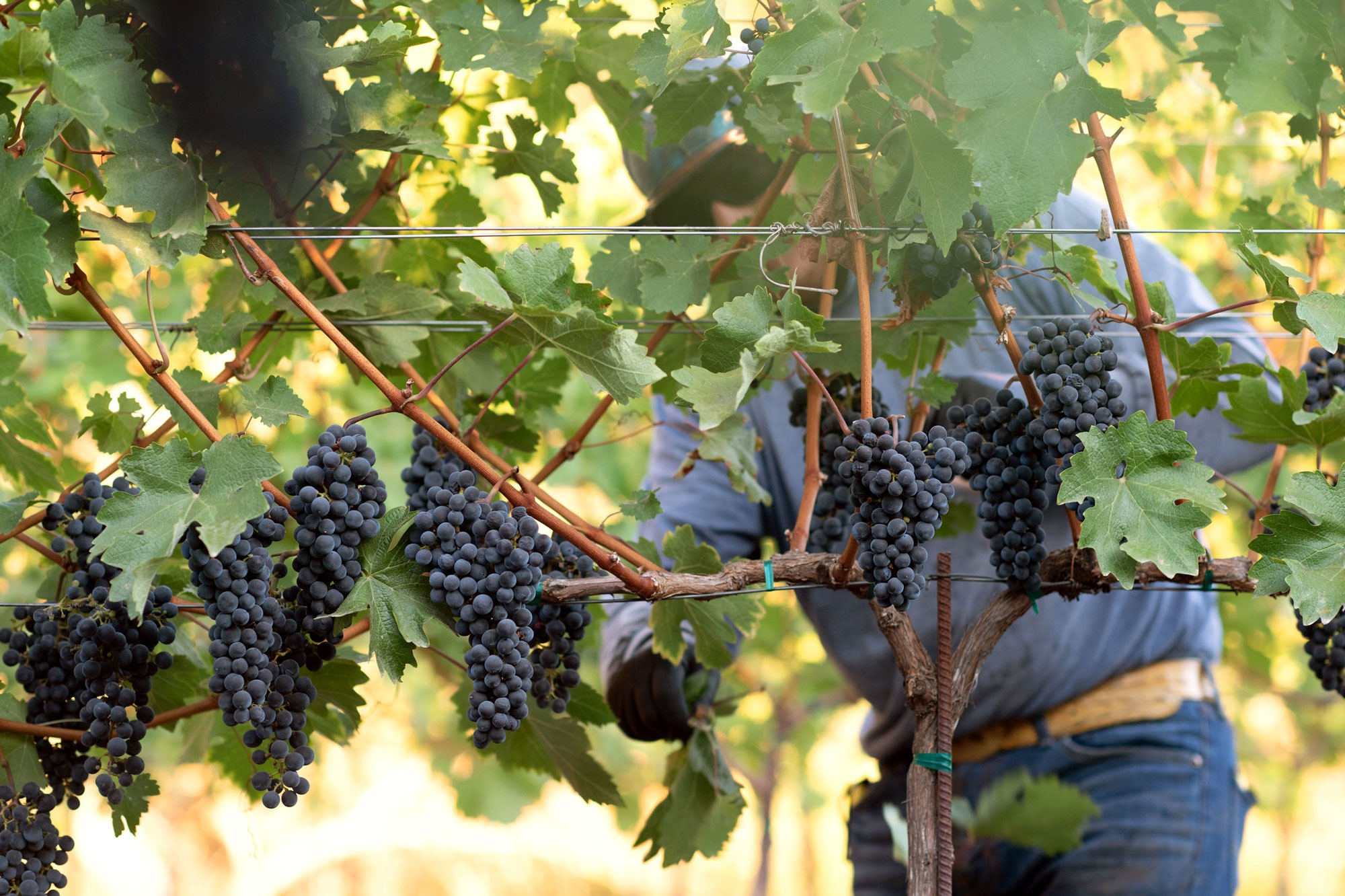 Harvesting grapes at M-Bar Ranch. Photo by JH Hayes