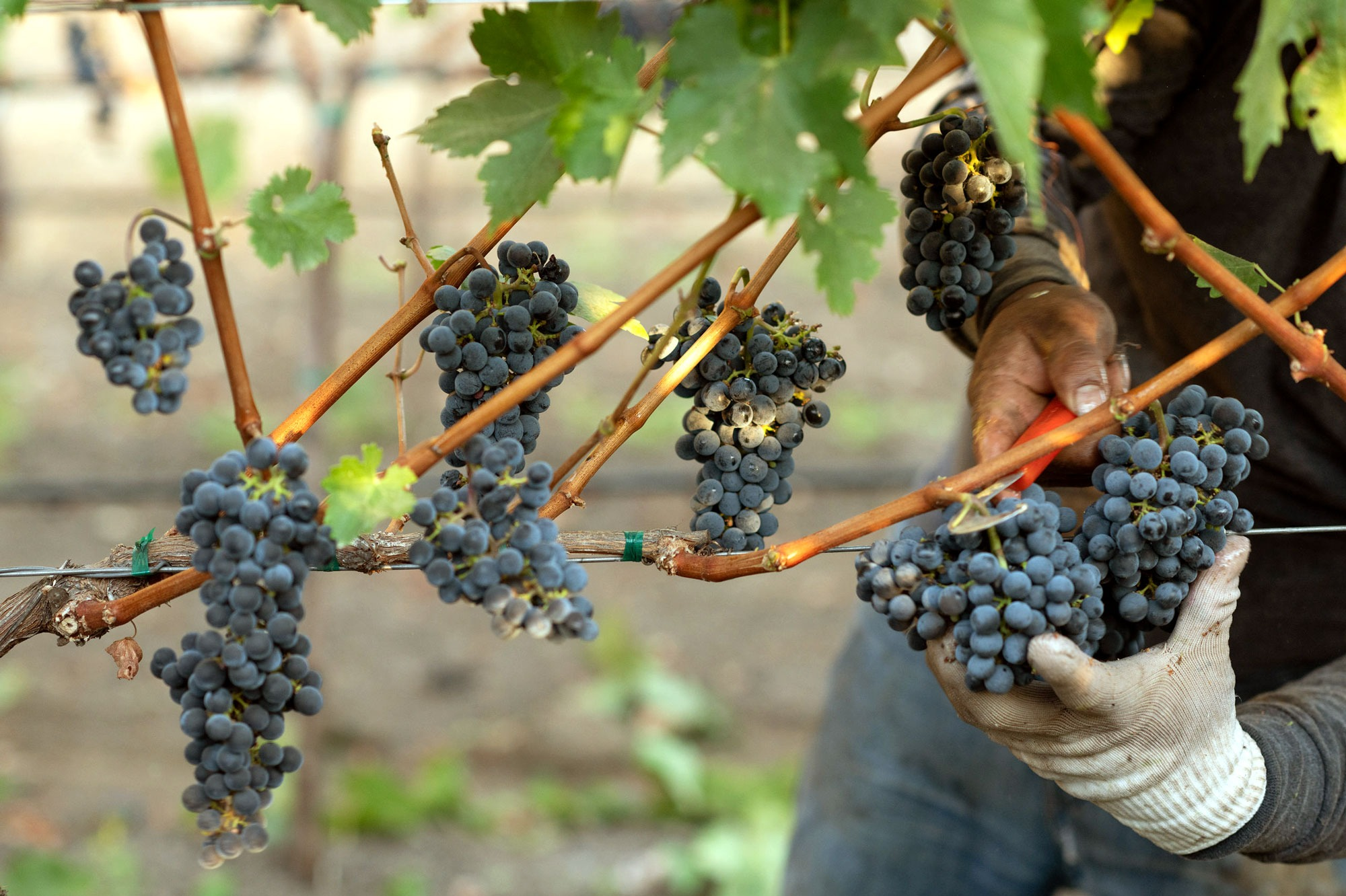 An expert vineyard worker harvests cabernet clusters by hand at M-Bar Ranch, photo by JH Hayes