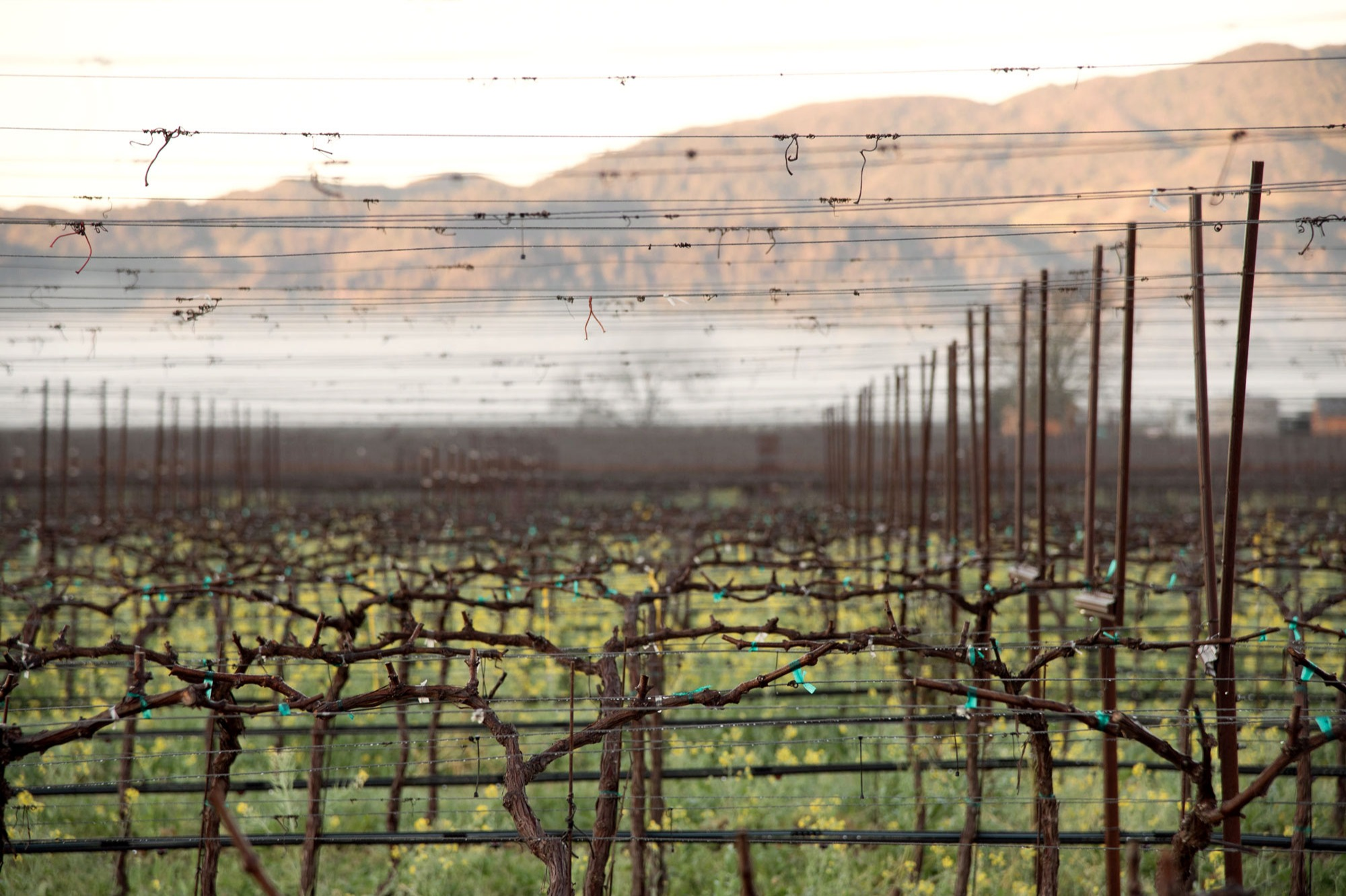 Rancho Pequeño's iconic orange wind machine stands above the newly pruned vines and morning ground fog at Rancho Pequeno, photo by JH Hayes