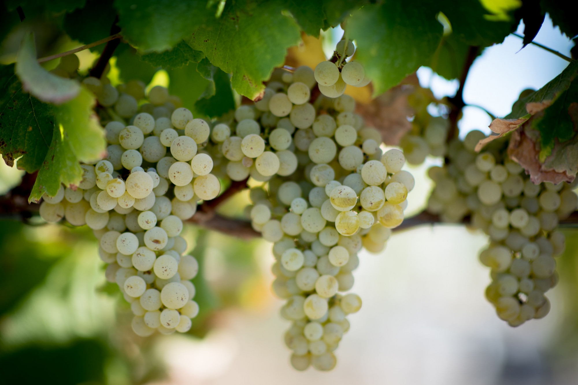 Sauvignon Blanc grape clusters nearing harvest at Ryan's Vineyard. Photo by JH Hayes