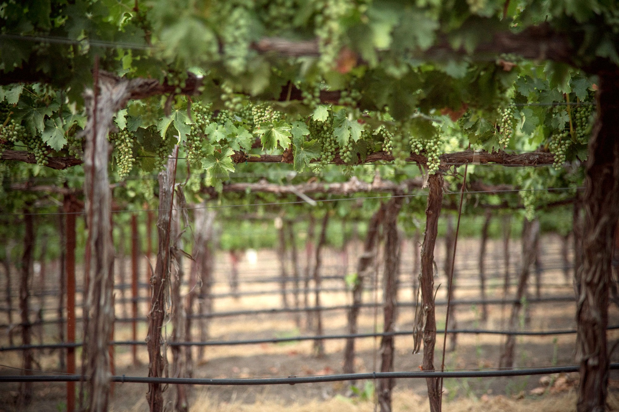 Peering through the rows of Sauvignon Blanc vines at Ryan's Vineyard. Photo by JH Hayes
