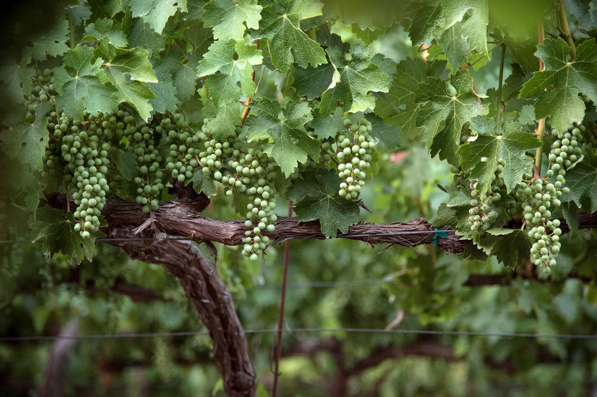 Sauvignon Blanc grape clusters before veraison at Ryan's Vineyard. Photo by JH Hayes