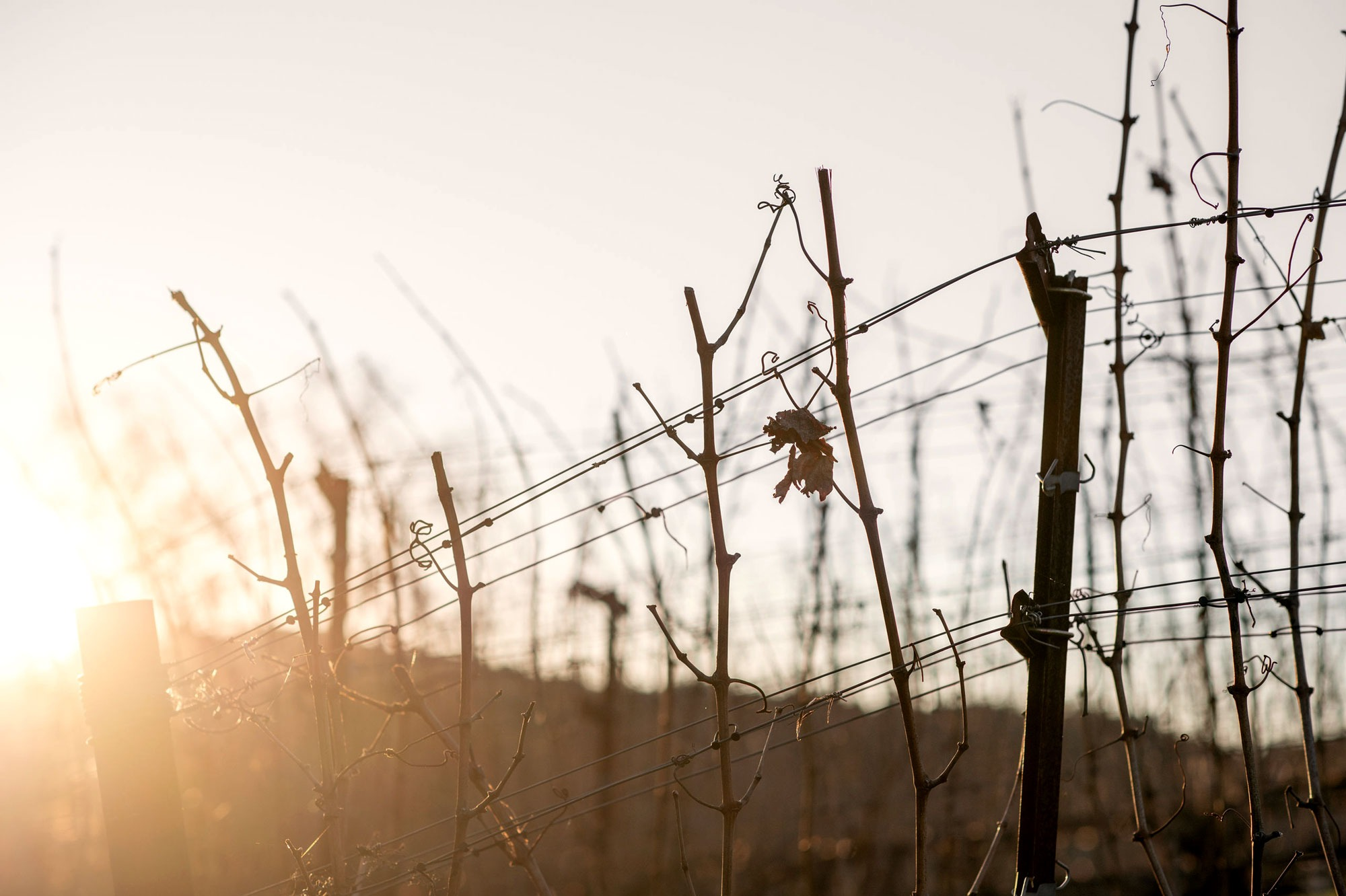 Leafless canes and trellis structure at Terravina Vineyard. Photo by JH Hayes