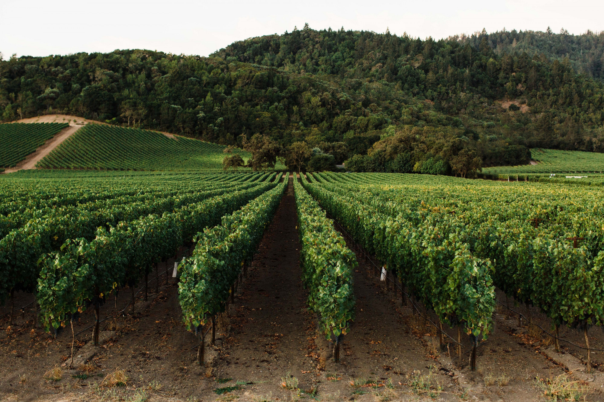 Rows of Cabernet Sauvignon vines at Vine Hill Ranch. Photo by Sarah Anne Risk