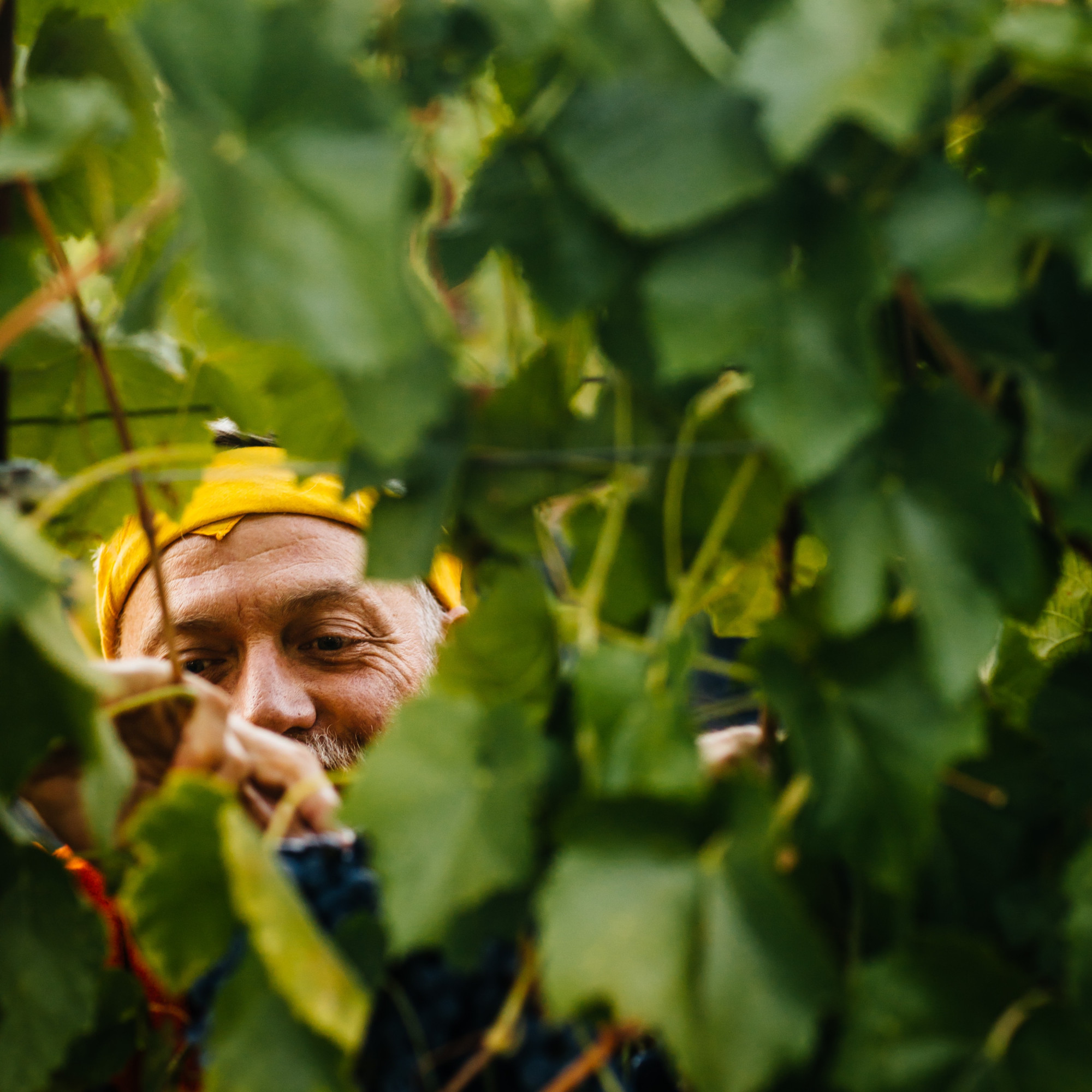 Winemaker Matthew Rorick's face peeks from behind grape leaves while picking grapes.