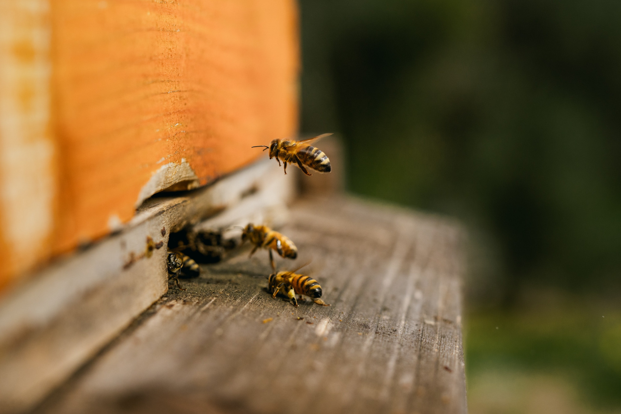 Bees flying into their bee box