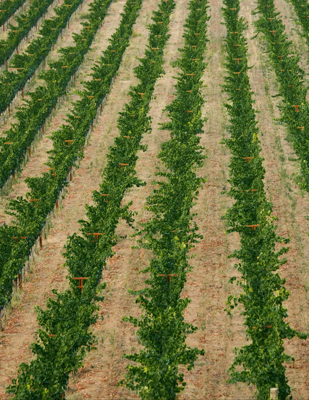 Aerial view of the rows in the vineyard