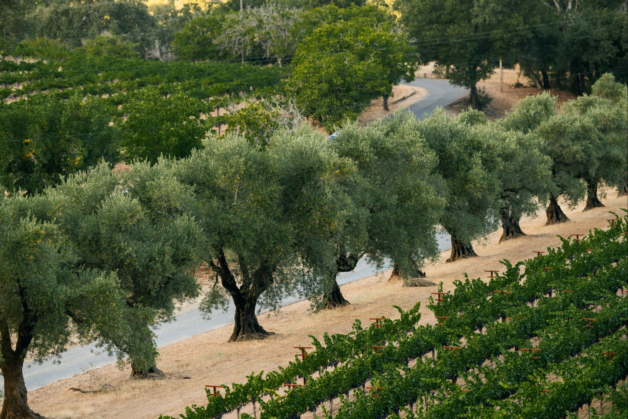 Row of Olive Trees lining the vineyards