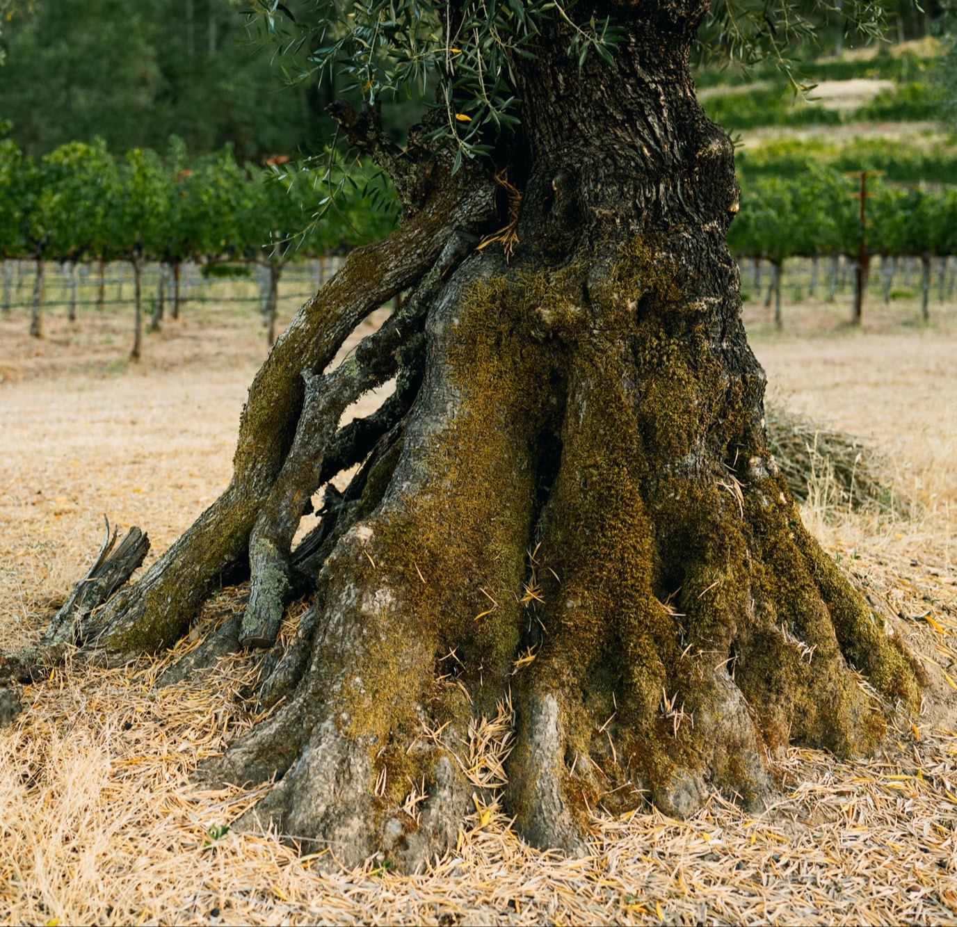Close-up of Olive Tree Trunk in the Vineyard