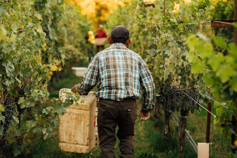 Vineyard team member walking with a lug during harvest