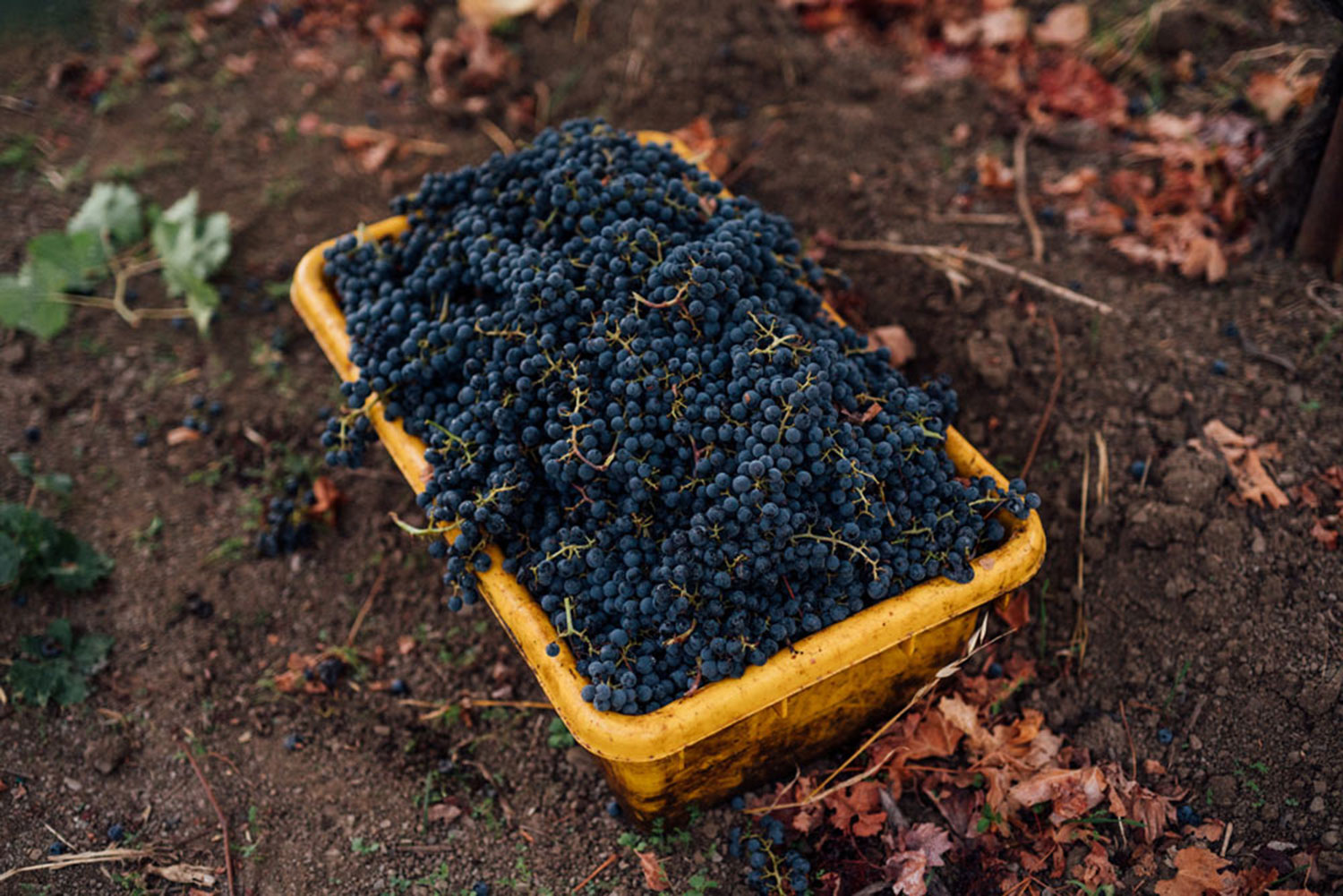 A wine lug full of cabernet sauvignon grapes just harvested in the vineyards