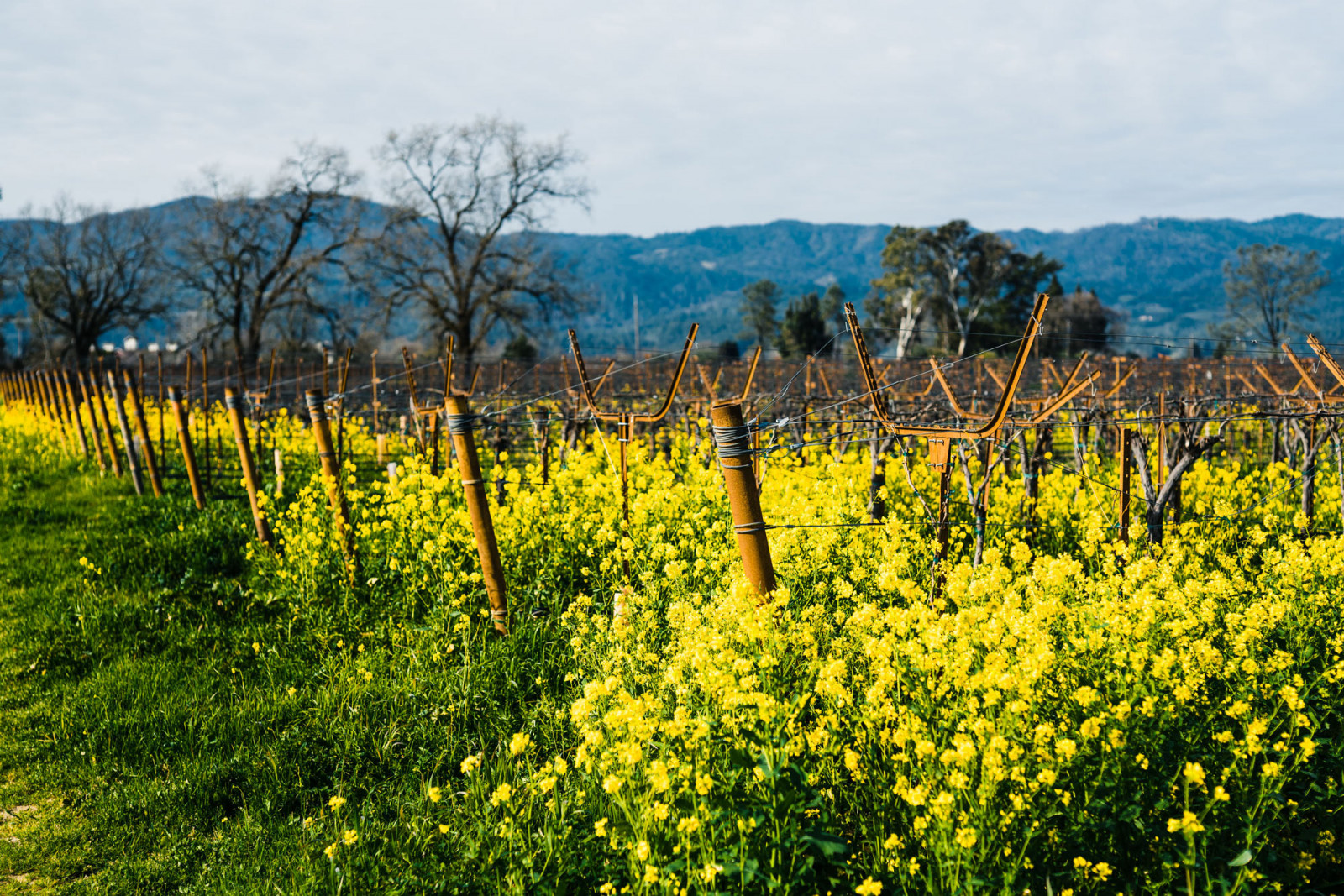 Mustard growing in the Trailside Vineyard