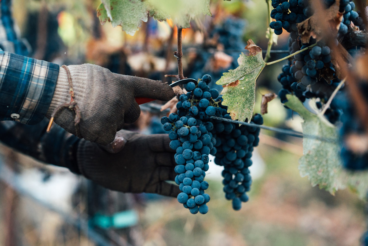https:Close-up of hands harvesting Cabernet Sauvignon in the vineyard