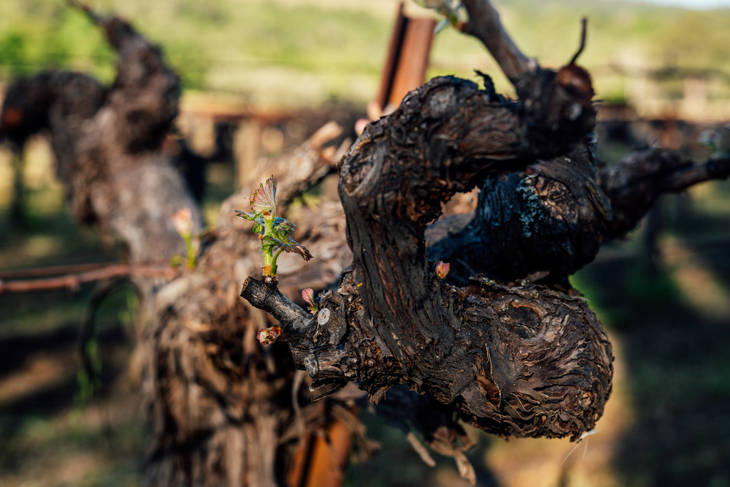 https:Close-up of old vines in Martha's Vineyard
