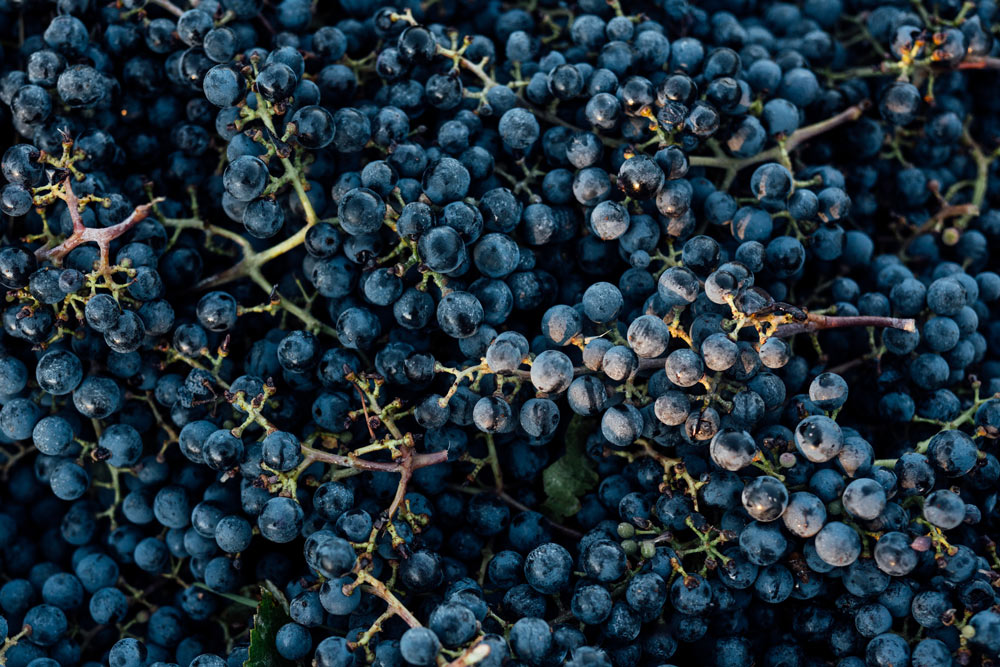 https:Detail of Cabernet Sauvignon grapes harvested from Martha's Vineyard