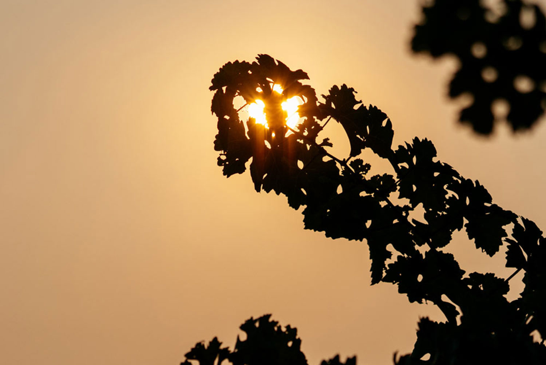 https:Sunset lighting behind vines in the Trailside Vineyard