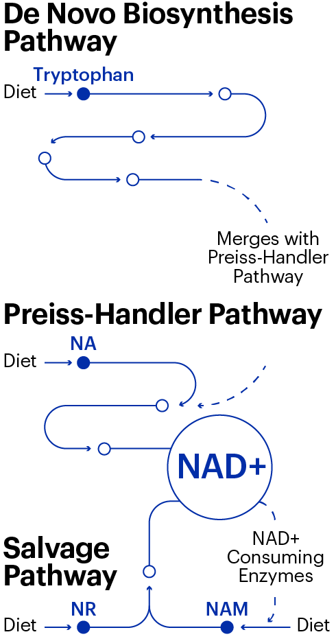 Pathways for NAD+ to enter the body