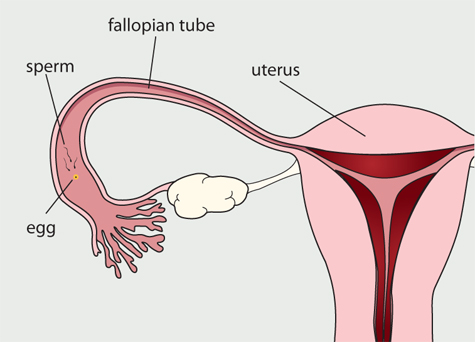 can sperm and egg meet in the uterus