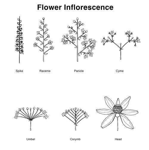 flower inflorescence