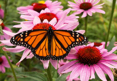 Monarch butterfly on echinacea  flowers