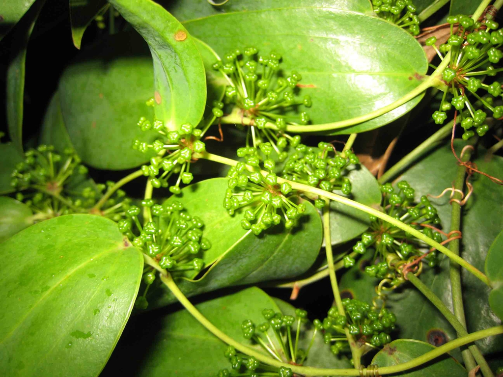 Smilax glabra