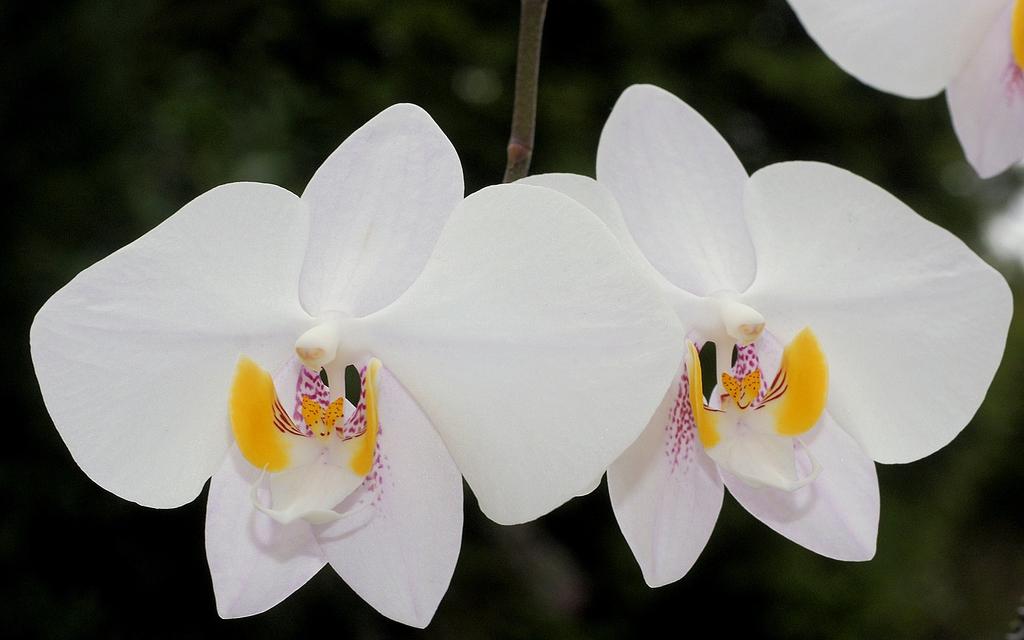 Phalaenopsis philippinensi