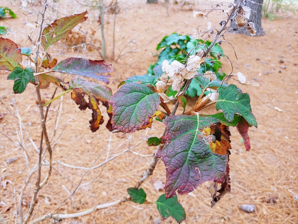 confederate rose hybiscus skdavidson nh county winter