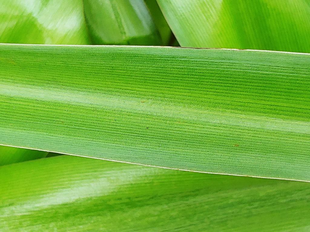crinum lily nh county leaf skdavidson