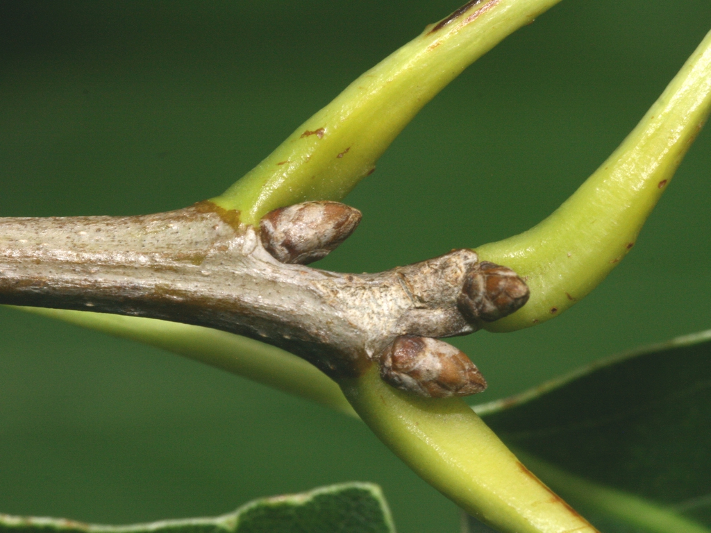 Branch and buds
