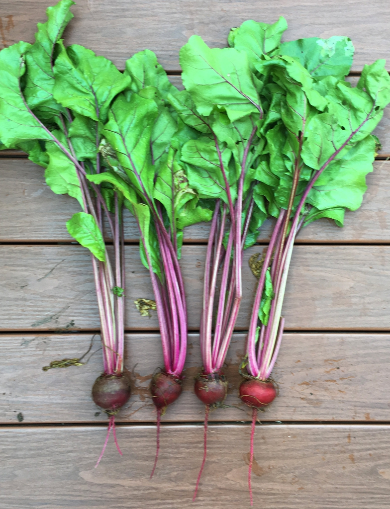 Beta vulgaris (Garden Beet Group)