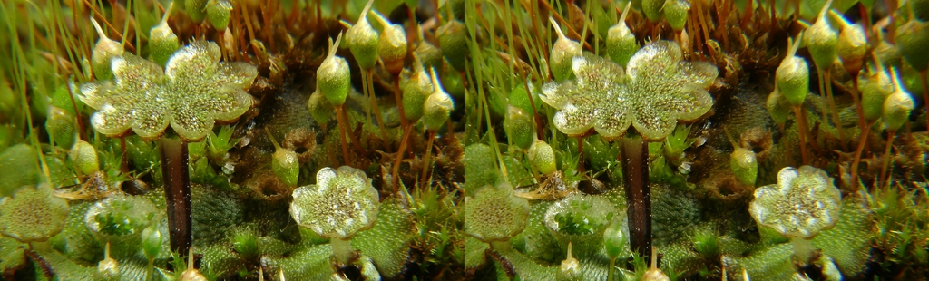 Marchantia polymorpha crossview in 3D