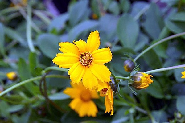 Coreopsis auriculate 'Nana'
