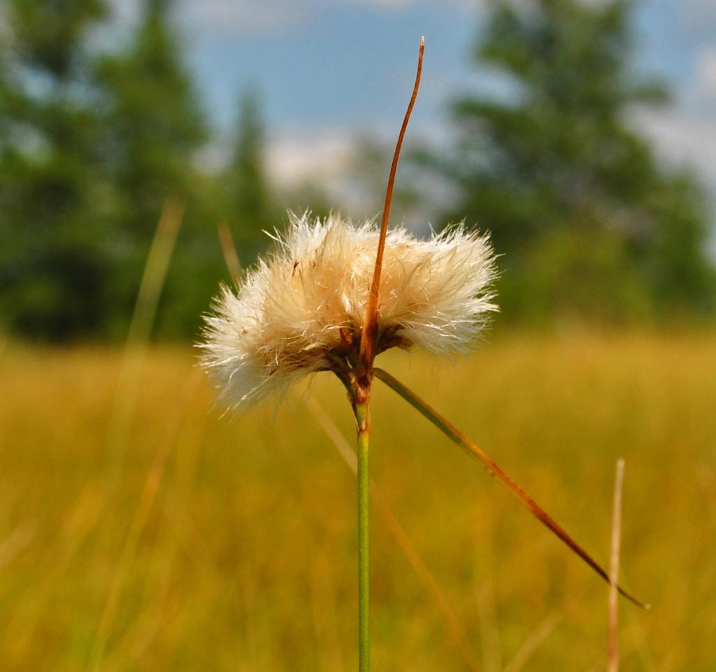 Tawny Cottongrasss