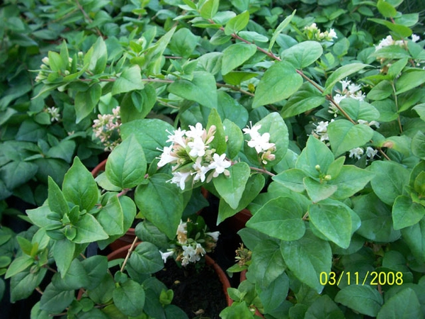 Photo of Abelia chinensis