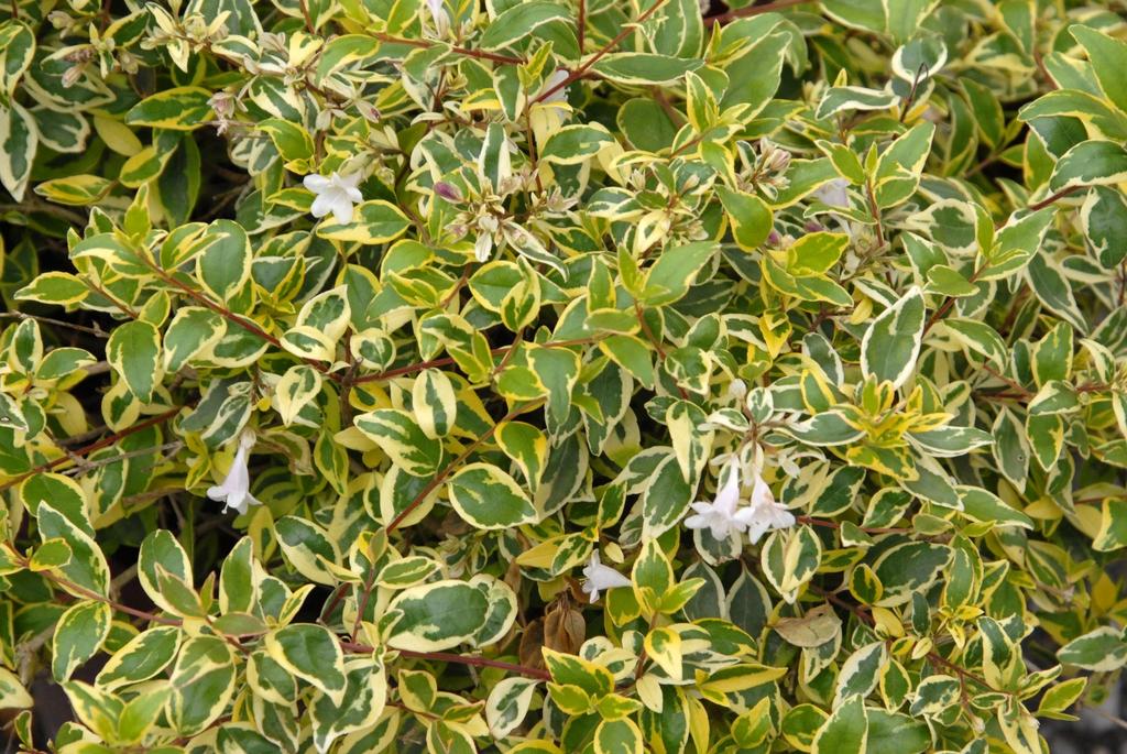 Linnaea x Tgrandiflora