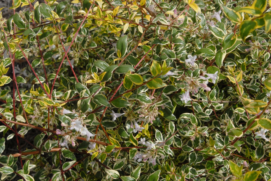 Abelia x grandiflora 'Hopley'
