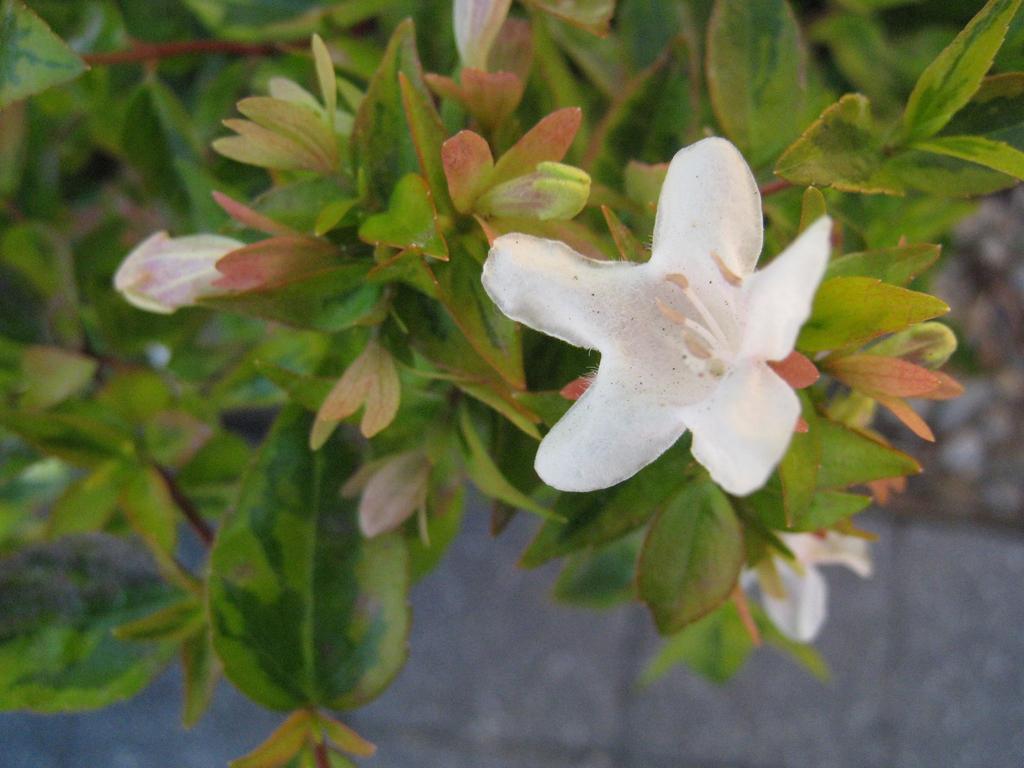 'Kaleidoscope' PP #16988 flower