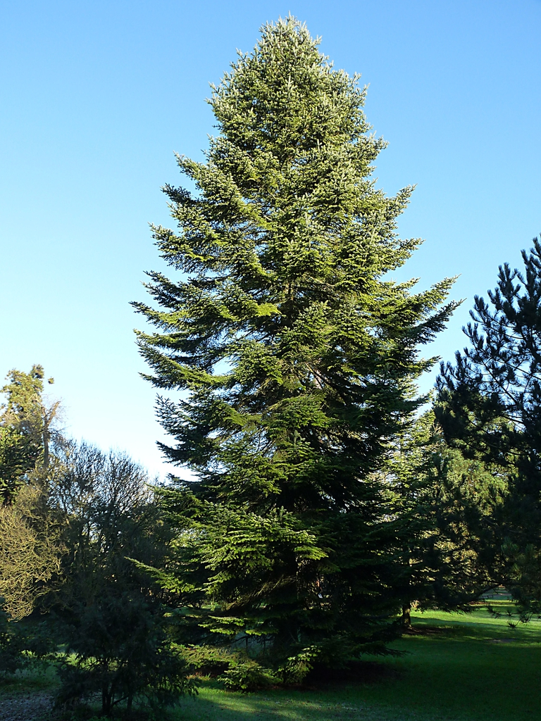 Abies alba mature tree