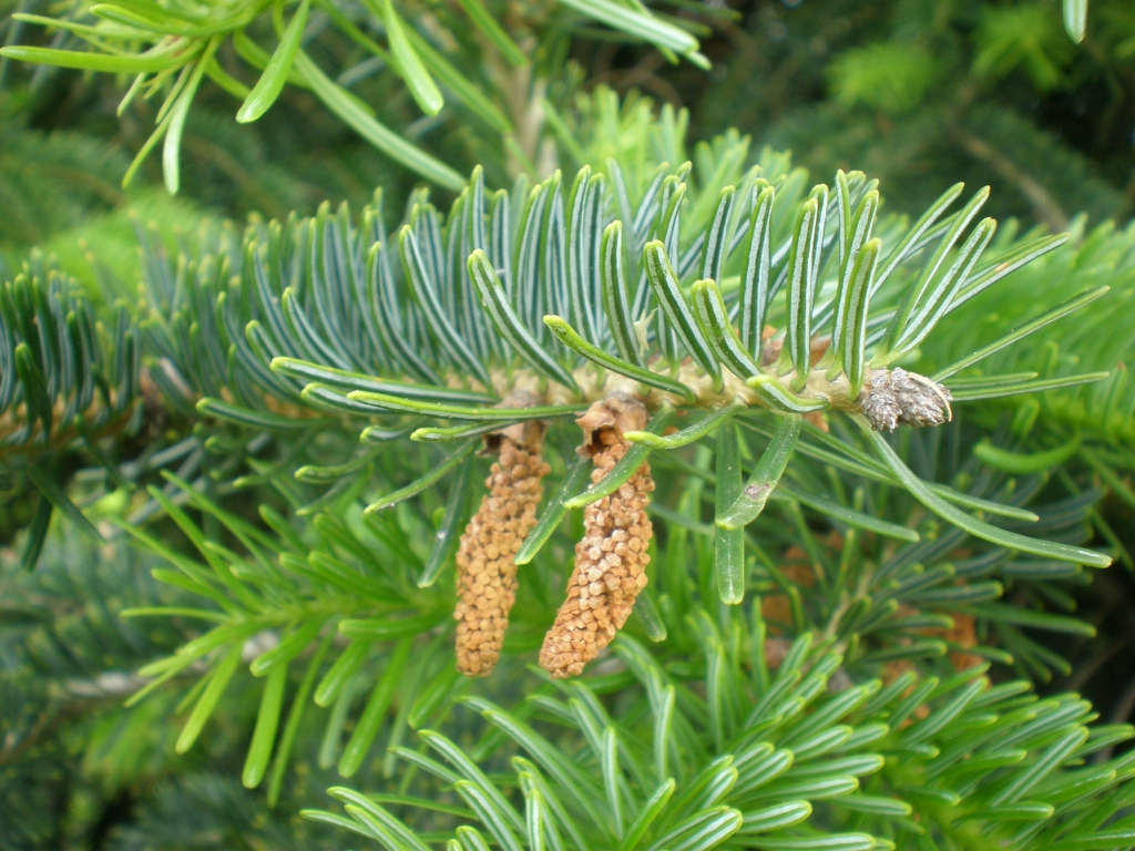 Male cones and white stripes on needles.