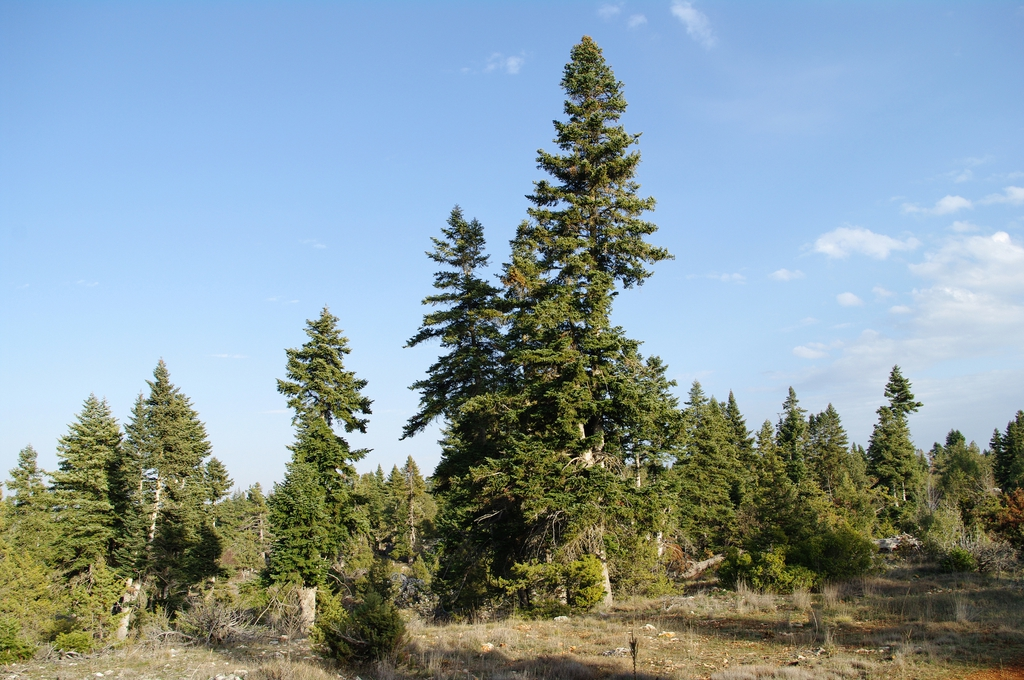 Abies cilicica Taurus fir