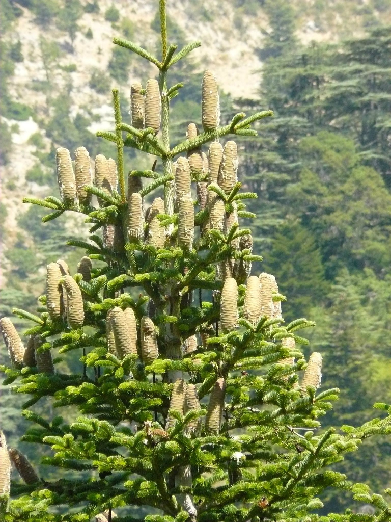 Abies cilicica close-up
