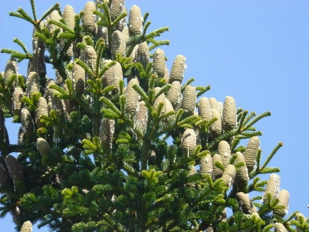 Upright female cones.
