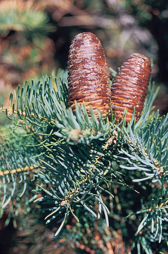 Abies concolor cones