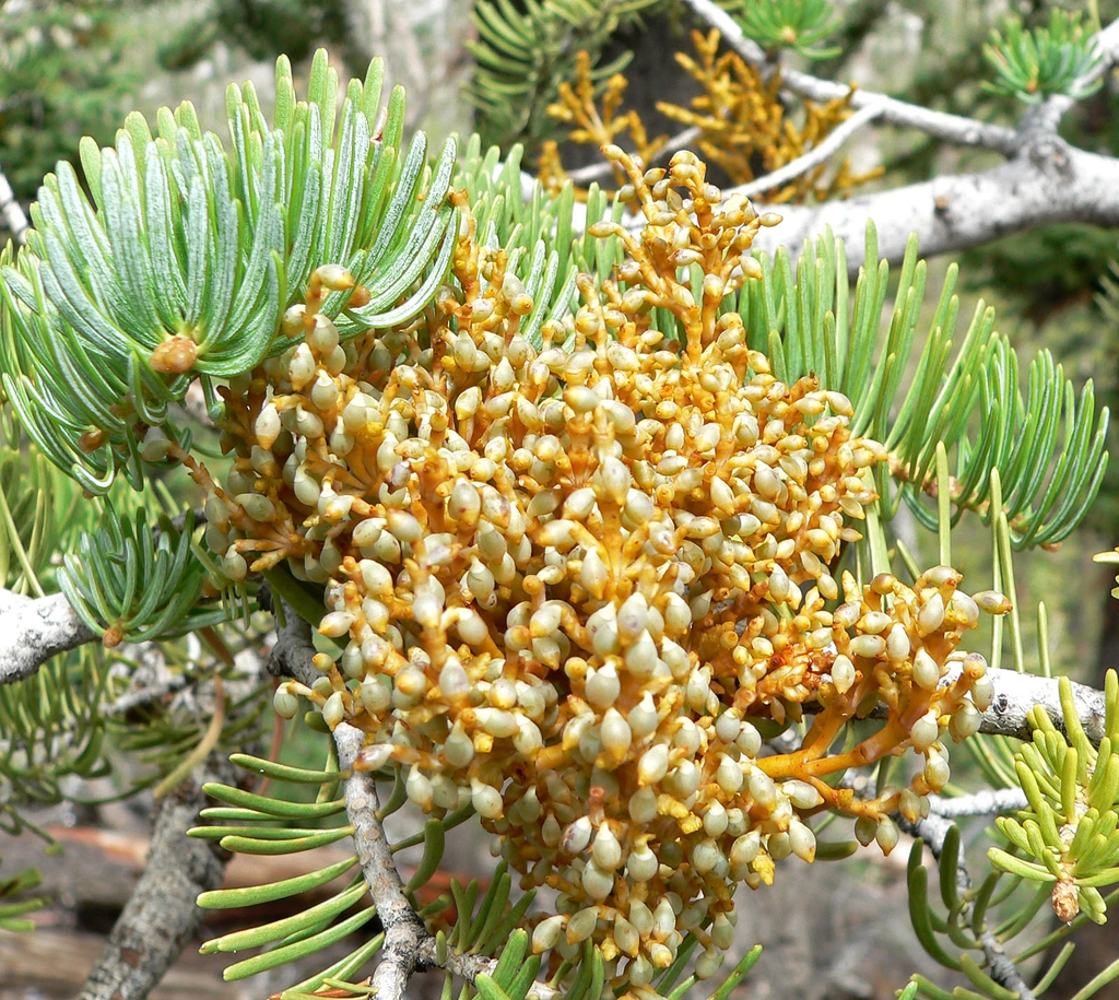 Abies concolor with fir dwarf mistletoe( Arceuthobium abietinum)