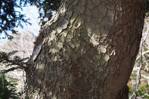 Abies firma bark