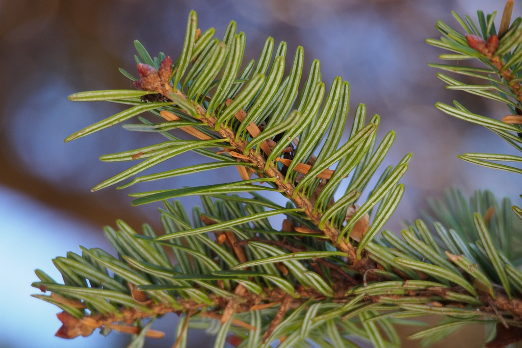 Abies firma close up of needles