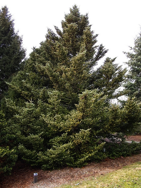 Abies koreana tree
